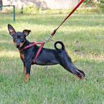 Inara (Zuchini) in der Hundeschule