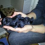 Die kleinen Schnauzen-4 Tage alt