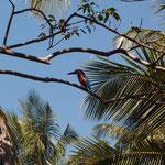 Eisvogel, bzw. Kingfisher