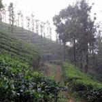 Unterwegs in der Teeplantage