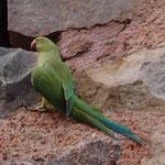 Von diesen Vögeln gibt es im Lodi-Garden sehr viele. Und die sind richtig laut !