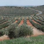 Où ça les oliviers ?