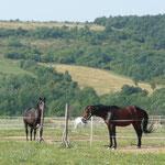Les chevaux hongrois
