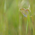 Licenide tra l'erba (Comazzo d'Adda)