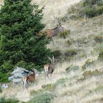 cervi (Alpe Colina Valtellina)