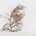 Betulla nella neve