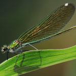 Calopteryx virgo (sorgenti della Muzzetta)