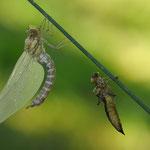 sfarfallamento di libellula Aeshna (Val Canali)