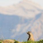Marmotta di vedetta