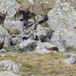 Femmine e piccoli di camoscio (Alta val di Pejo)