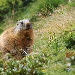 Marmotta (Piani del monte Avaro)
