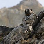 Marmotta sotto il Lagazuoi