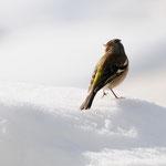 Friguello sulla neve