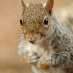 ritratto del griso scoiattolo (parco castello Legnano)