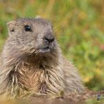 ritratto di giovane marmotta