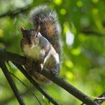 Scoiattolo Grigio sull'albero (Parco Castello Legnano)