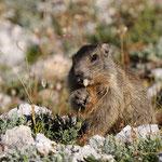 La colazione della giovane marmotta (Cir)