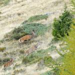 Cervi in fuga (alpe Colina Valtellina)