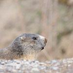 Ritratto di marmotta (Valsavarenche PNGP)