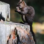 scoiattolo (val Roseg)