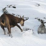 sotto la neve il pane (Camoscio PNGP)