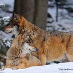 Coppia di lupi nella neve