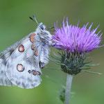 Farfalla Parnassius Apollo incontrata sul sentiero