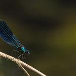 Calopteryx virgo (Muzzetta)
