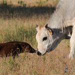 strani amori (cucciolo di cinghiale e vitello, Marina di Alberese)