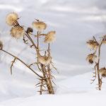 Cardi nella neve