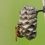 vespa al nido (Comazzo d'Adda)