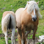 Cavalli avelignesi