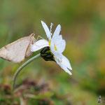 Farfalla di alta quota (Val Venezia, Peio)