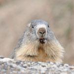 Marmotta (Valsavarenche PNGP)