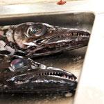 Kopf des Degenfisches