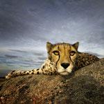Klaus -Peter Selzer - Cheetah - Urkunde