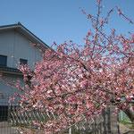 久保ポンプ小屋側の桜