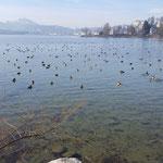 Wasservögel in der Trottlibucht (Foto Sebastian Meyer)