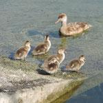 Kolbenenten-Familie (Foto Beatrice Wydler)