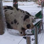 Das Fell schützt unsere Schweine vor der Kälte - und da hilft auch die Fettschichth. und der gemütliche Stall voll mit Stroh.