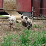 Ein schönes Schweineleben!
