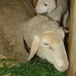 April 2016: Pet-lamb, also solche, die man mit dem Flascherl großzieht, sind jedes Jahr dabei.