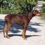 Xena mit gut 9 Jahren im Oktober 2013 - ein schöner Hund!