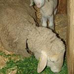"""2016: ein Waisen-Lamm mit """"Großmutter"""", die letzte Lacompte mit 14 Jahren"""