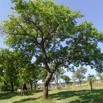 Reife Marillen an den Bäumen im Juli