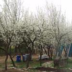 Zwetschgenblüte - leider mussten fast alle Bäume dem Morgensternneubau weichen.