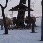 Die Schafe im zweiten Winterauslauf - dort steht heute das Morgensternhaus