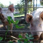 Glücksschweine - Emma und Loni im Oktober vor Klee, den sie wegen des Zaunes nicht abbeißen können!