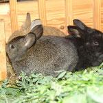 September 2016: das Kaninchen, was im Garten umherhoppelt, hat 8 Babies bekommen. Die haben wir alle eingesammelt und in einen Stall, sonst gerät das Kaninchenglück hier etwas außer Kontrolle.