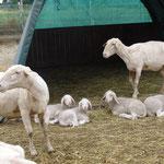 Mai 2015: alle Schafe werden geschoren....